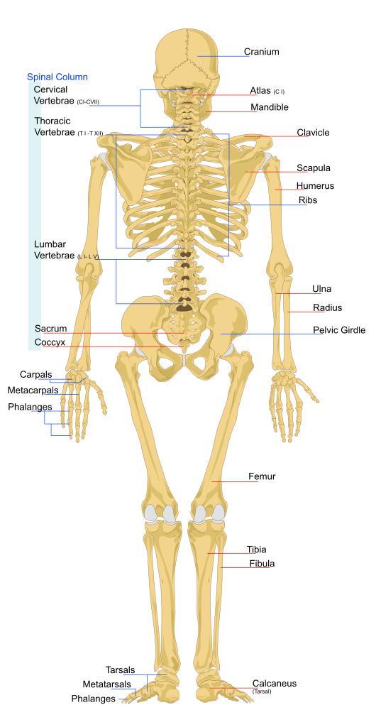 Overige / Skelet